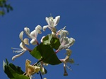 Honeysuckle, Woodbine (Lonicera periclymenum)